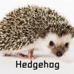 Hedgehog เม่นแคระ