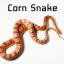corn snake งูคอร์น thumbnail 1