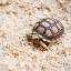 Sulcata Tortoise เต่าซูคาต้า thumbnail 4
