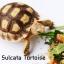Sulcata Tortoise เต่าซูคาต้า thumbnail 1