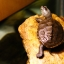 diamondback terrapin turtle thumbnail 5