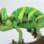 Veiled Chameleon เวลล์ คามิเลียน thumbnail 6