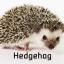 Hedgehog เม่นแคระ thumbnail 1