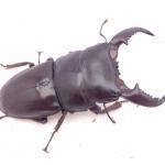 ด้วงคีม Dorcus titanus 71 mm. [WF1]