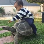 พาเต่ายักษ์ไปเดินเล่นกันเถอะ Sulcata and Aldabra Tortoise