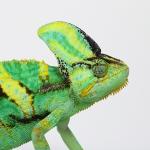 ทำความรู้จักกับ กิ้งก่าเวลล์คามิเลียน (Veiled Chameleon) ในเบื้องต้น