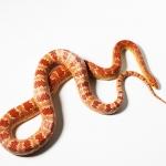 งูคอร์นสเนก หรือ งูข้าวโพด (Corn Snake)