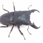 ด้วงคีม Dorcus titanus 74 mm. [WF1]