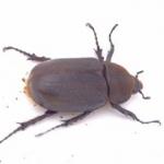 ตัวเมีย ด้วงกว่างเฮอร์คิวลิส Dynastes hercules lychi 61 mm. [F2]