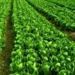 เคล็บลับสำหรับพืชผักใบเขียว